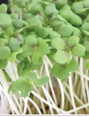 Cress Sprouts