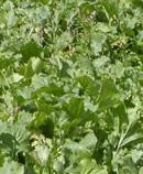 Forage Turnips
